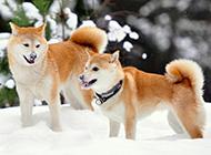 日本柴犬微笑的图片大全