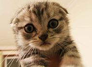 超萌苏格兰折耳猫图片壁纸