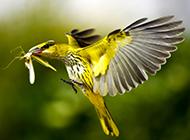 动作敏捷的黑枕黄鹂鸟图片