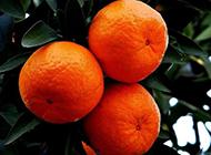 甜蜜爽口的橘子高清水果壁纸
