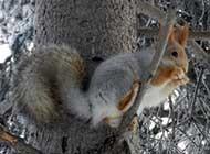 冬季里可爱的小松鼠高清图片
