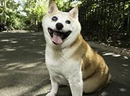 招人喜爱的柴犬白眼图片