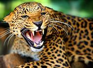 性情凶猛狡猾的金钱豹动物壁纸