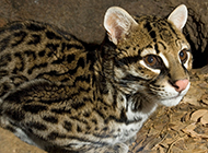 珍稀动物豹猫图片大全