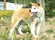 机警聪明的成年秋田犬图片