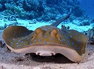 卧在海底的锯齿鳐鱼图片