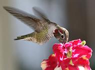 振翅欲飞的小蜂鸟图片