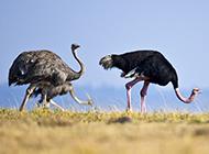 非洲鸵鸟野外觅食图片