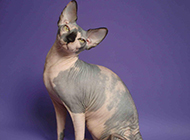 斯芬克斯猫图片模样俏皮惹人爱