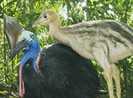 近距离拍世界上最危险鸟类