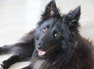 黑色健壮的比利时牧羊犬图片