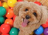 超得意的小狗狗唯美图片
