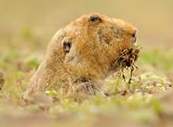 表情呆萌的草原鼢鼠图片