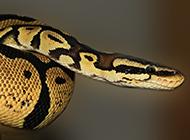 巨大蟒蛇高清特写图片