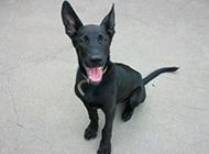 聪明听话的黑狼犬图片