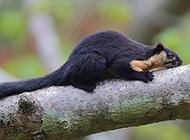黑岩巨松鼠树梢捕食抓拍