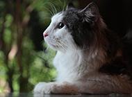 纯种挪威森林猫头部特写图片