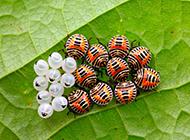 绿叶上的有害昆虫摄影图片