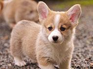 威尔士柯基犬小巧可爱图片