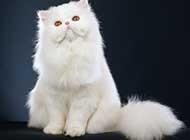 波斯猫超萌可爱图片欣赏