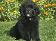 肉呼呼的纽芬兰犬卖萌可爱图片