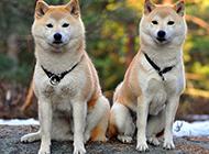 两只可爱的秋田犬照片