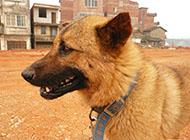 小型凶猛中华田园犬图片
