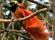 美丽的雌王极乐鸟图片