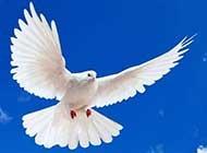 特写 和平鸽