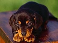 可爱小型萌宠宠物狗图片