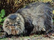 厦门纯种挪威森林猫高清图片