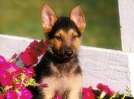 德国狼犬安静温顺可爱抓拍图片