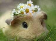 可爱超萌的小豚鼠高清图片