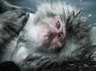 高清雪猴的生活欣赏