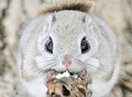 圆滚滚的动物日本小鼯鼠图片