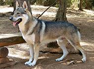 帅气的捷克狼犬野外栖息图片