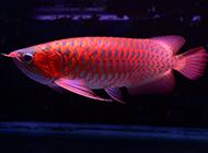 紫艳辣椒红龙鱼图片高清
