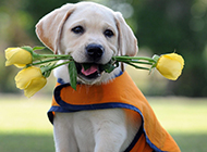 嘴里含着花的三个月拉布拉多犬图片