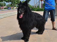 凶猛高大的黑熊犬图片