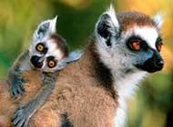 可爱狐猴高清图片