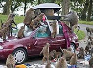 最牛动物猴子搞笑图之打劫汽车
