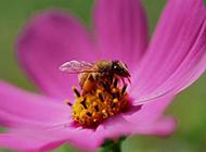 蜜蜂采蜜的唯美拍摄图片