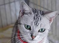可爱的美国短毛猫头部特写图片