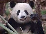 熊猫搞笑图片之讲究口腔卫生