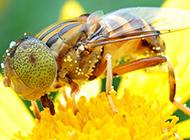 勤劳的小蜜蜂微距摄影图片