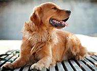 英国金毛狗图片精美写真