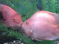 浅红色的接吻鱼精美图片