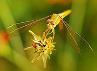 昆虫图片唯美微距蜻蜓特写