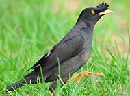 活泼可爱的八哥鸟图片下载