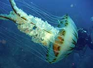 奇特的水母高清组图